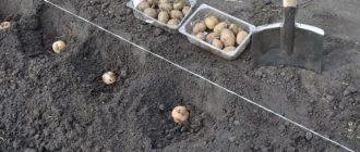 Как правильно сажать картошку